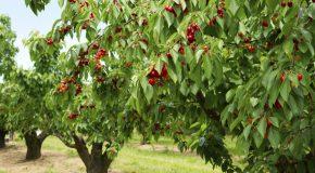 Buy Premier Cherry Fruit Trees for Your Garden
